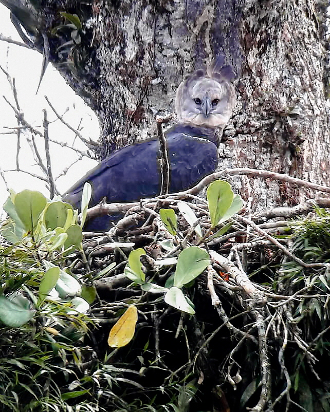 Harpy-Eagle-in-nest